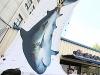 [사진] 서울 도심에 나타난 멸종위기종 미흑점상어